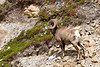 Big Horn Ram<br /> Big Horn Ram, Athabasca Glacier Area, Jasper National Park, Alberta, Canada