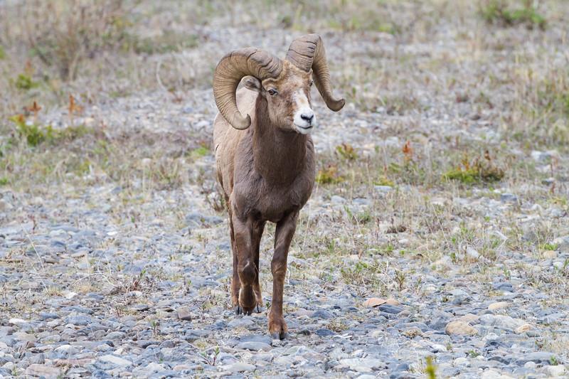 Athabasca Big Horn Ram<br /> Big Horn Ram Athabasca Glacier Jasper National Park, Parker Ridge