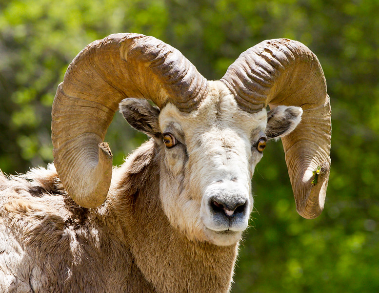 Big Horn Ram<br /> Big Horn Ram, Kananaskis Highway, Alberta, Canada