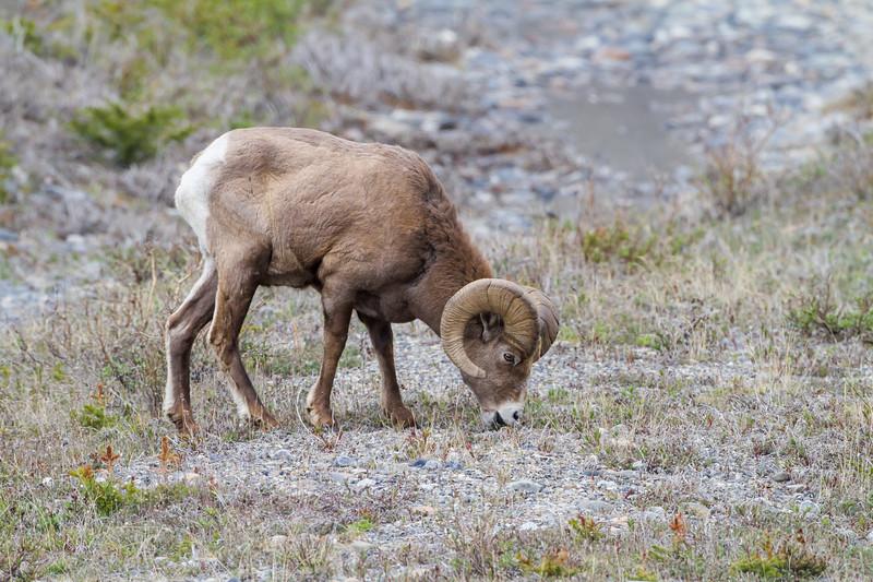 Athabasca Big Horn Ram <br /> Big Horn Ram Athabasca Glacier Jasper National Park, Parker Ridge
