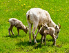 Big Horn Ewe and 2 lambs<br /> Big Horn Ewe with 2 Lambs, Kananaskis Valley, Alberta, Canada