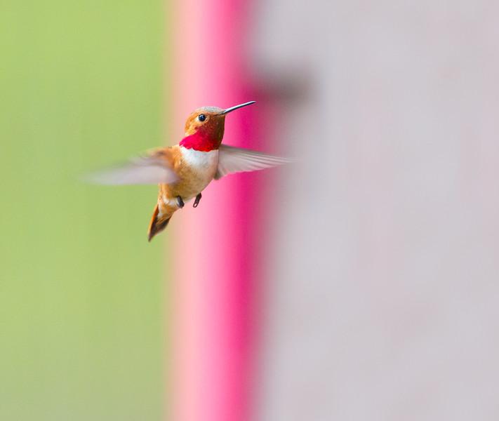 Flying Jewell - cropped<br /> Rufous Hummingbird Jasper National Park Canadian Rockies