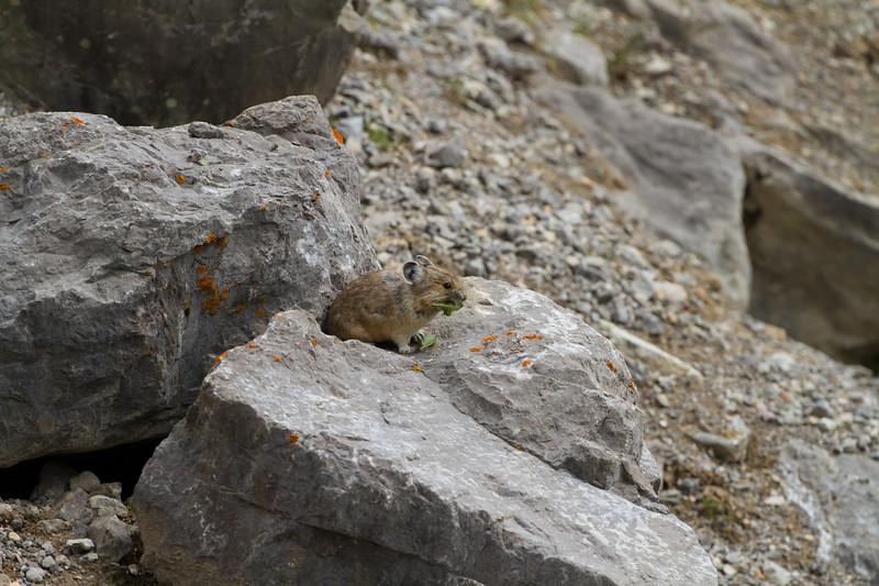 Collared Pika<br /> Collared Pika, Medicine Lake, Jasper National Park