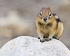 Golden-mantled Ground Squirrel<br /> Golden-mantled Ground Squirrel, Athabasca Glacier Parking Lot, Jasper National Park, Alberta, Canada