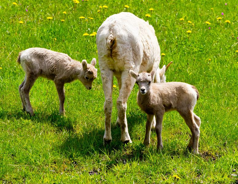 Big Horn Ewe and 2 lambs<br /> Big Horn Ewe with 2 Lambs, Kananaskis Valley, Alberta, Canada
