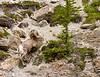 Big Horn Ram<br /> Bighorn Ram, Athabasca Glacier Area, Jasper National Park, Alberta, Canada