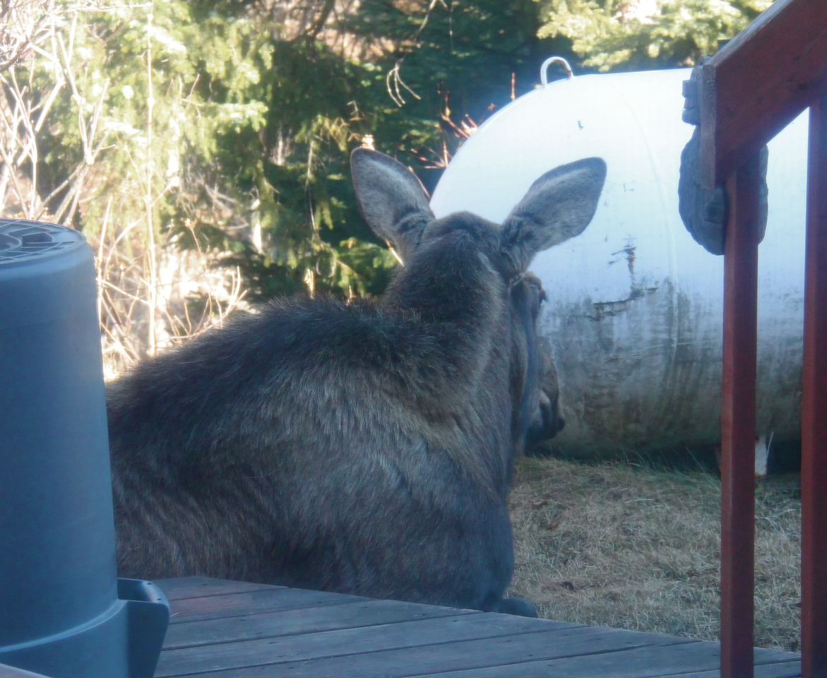 We were staying with friends in Homer; these moose photos were taken from their kitchen/breakfast room French doors!