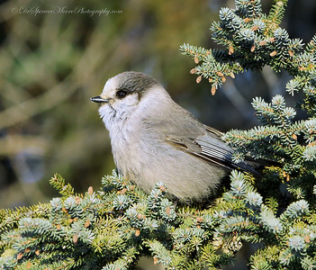 Wouldn't you like to have this Gray Jay sitting on your Christmas tree?