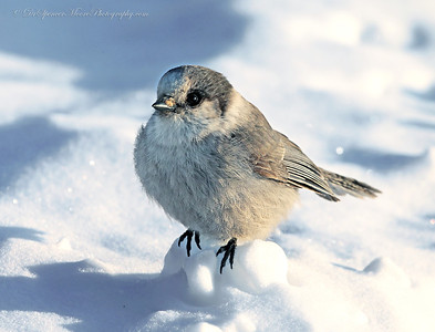 A beautiful Gray Jay and the Arctic Circle.