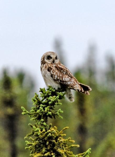 Owl, Short Eared. Near Ray River, Dalton Hwy, Alaska. #82.011. 3x4 ratio format.