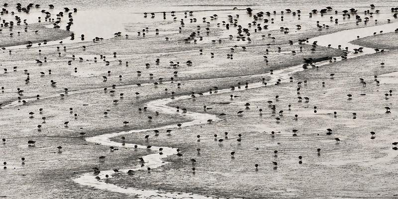 Dunlin and Western Sandpipers 2013.5.13#112. Probing Mud Bay, Homer Spit Alaska.
