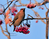 Waxwing, Bohemian 2012.11.29#009. Commonly found on the Mountain Ash. Highgate Circle, Anchorage Alaska.