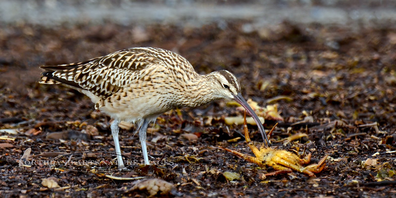 Curlew, Bristle-thighed 2013.5.23#079. Trying to figure out what to do with the Helmet crab. The curlew has found the crab in a large soft mass of Kelp. I thought that maybe he couldn't  break it on rocks like he normally would, but it was brought to my attention it was probably an exoskeleton and the reason for the lack of interest. Cook Inlet, South Central Alaska.