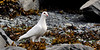 "Dove, Rock 2010.7.3#073. The famous ""white form"" in Valdez Alaska."
