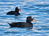 Scoter, Surf 2014.4.10#989. A handsome spring male. Seward Alaska.