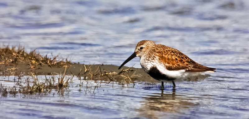 Dunlin 2005.5.7#016. A male in breeding plumage probes the mud along Homer Spit in Alaska.