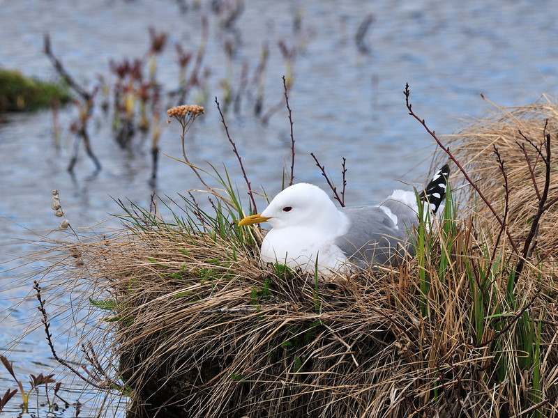Gull, Mew 2010.5.15#041. Potter Marsh, Anchorage Alaska.