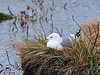 Gull, Mew 2010.5.15#041. Potter Marsh, Anchorage Alaska.