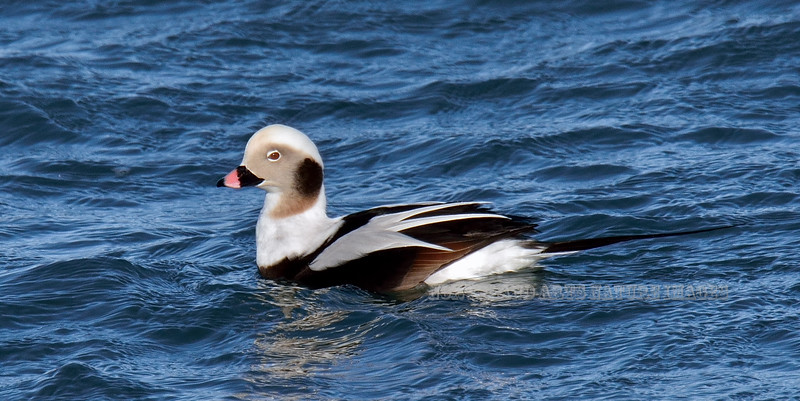 Oldsquaw 2009.3.8#047. Now called long-tailed Duck. A male in winter plumage. Kachemak Bay, Homer Alaska.