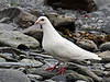 "Dove, Rock 2010.7.3#089. The famous ""white form"" in Valdez Alaska."