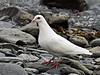 "Dove, Rock 2010.7.3#089. The famous ""white form"" in Valdez Alaska."