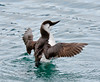 ALCIDS-Murre, Common 2015.4.28#1064.2. At the time I captured these images the Murres in Resurrection Bay and the Gulf of Alaska were suffering a serious die-off. Seward Alaska.