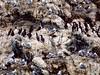 ALCIDS-Murre, Common 1986.8#10.2. A nesting colony of Murres with black-legged kittiwakes. Gull Island, Kachemak Bay near Homer Alaska.