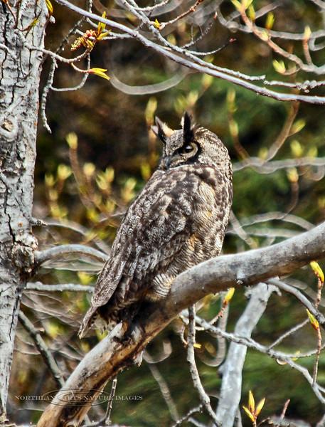 Owl, Great Horned 2007.5.14#0027. Potter Marsh, Anchorage Alaska.