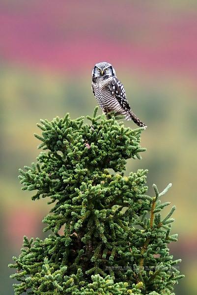 Owl, Northern Hawk 2008.8.29#056. On a fall hunting perch. Mile twelve, Denali Park Alaska.