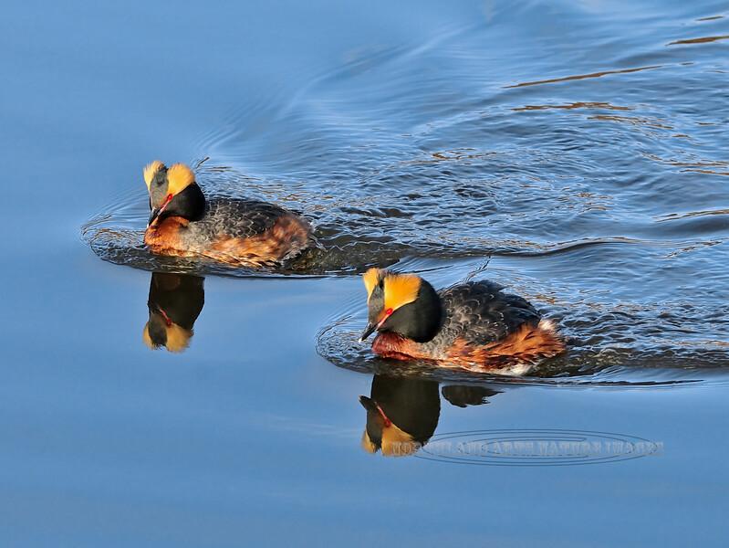 Grebe, Horned 2013.5.10#040. A pair of breeding birds. Potter Marsh, Anchorage Alaska.