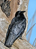Crow, Northwest 2014.4.10#938. Seward, Alaska.