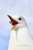 Gull, Mew 2014.6.28#140. Savage Canyon, Denali Park Alaska.