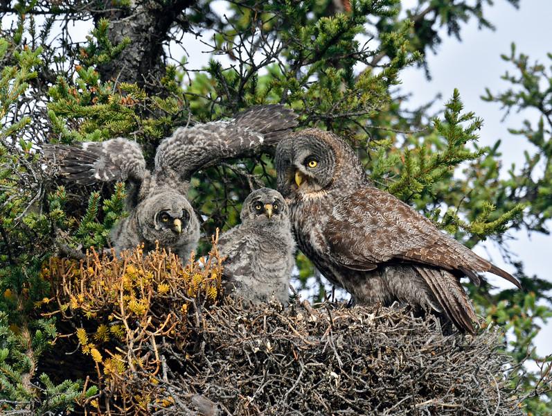 Owl, Great Gray 2015.6.8#744. Tolsona, Nelchina Basin Alaska.