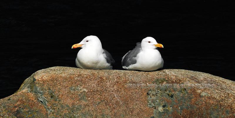 Gull, Herring 2011.5.10#086. Or Herring/Glaucous winged Hybrids. Anchor River, Kenai Peninsula Alaska.