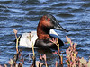 Canvasback duck 2011.5.23#041. A drake in dark breeding color early in spring. Potter Marsh, South Central, Alaska.