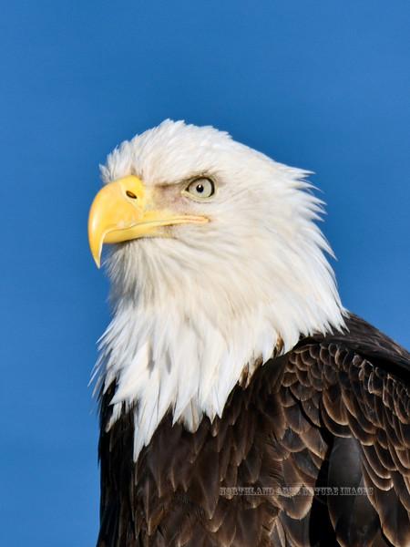 Eagle, Bald 2014.4.21#179. Homer Spit Alaska.