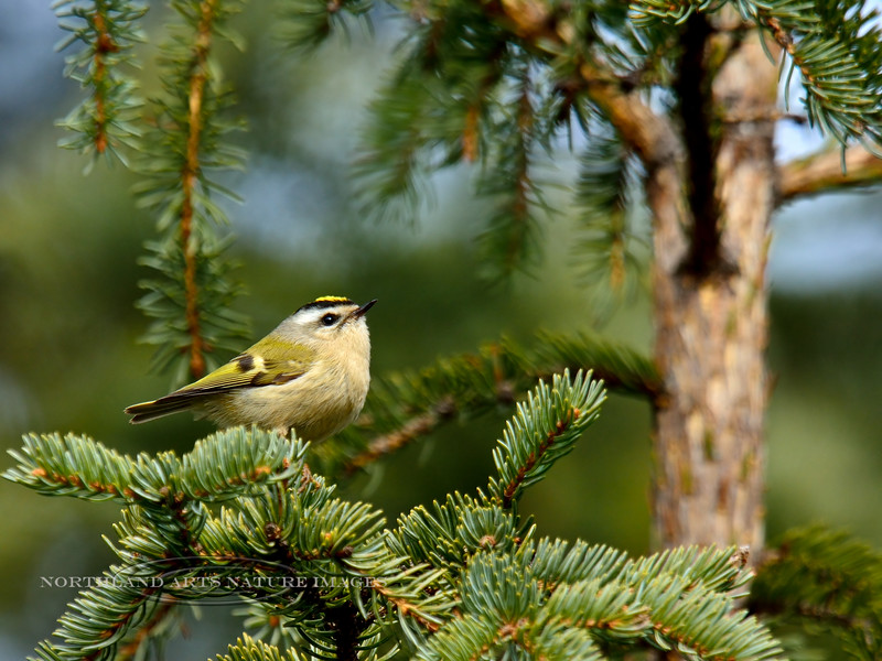 Kinglet, Golden-crowned 2015.5.14#083. Upper Abbott road, Anchorage hillside Alaska.