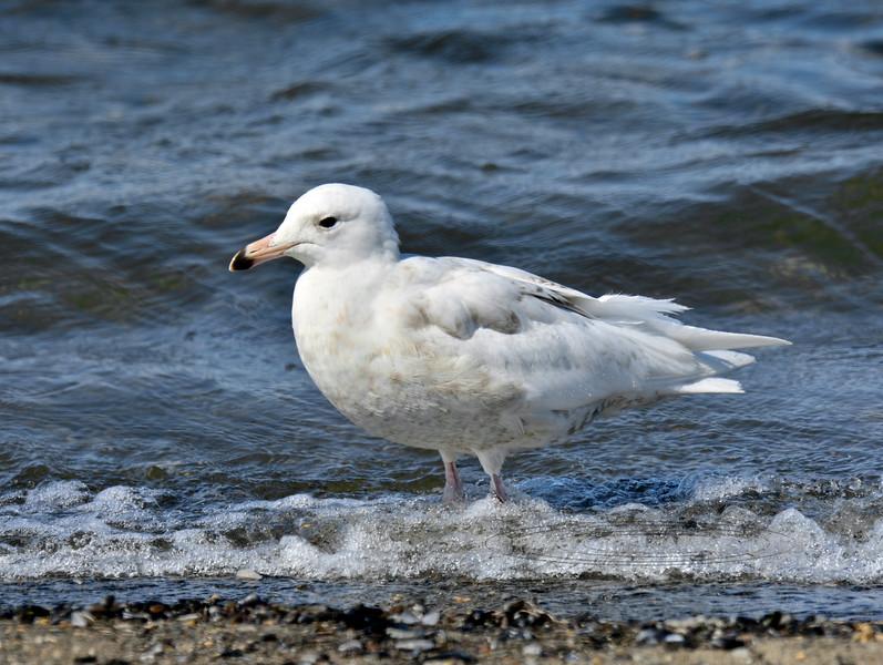 Gull, Glaucous 2015.6.22#572. An immature. Teller Spit, Seward peninsula Alaska.