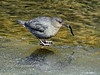 Dipper, American 2013.4.15#160. Busy catching migrating salmon fingerlings. Daves Creek, Tern Lake Alaska.