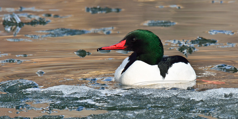 Merganser, Common 2014.4.22#828. A handsome  male in an icy lake at breakup. Tern Lake, Kenai Peninsula Alaska.