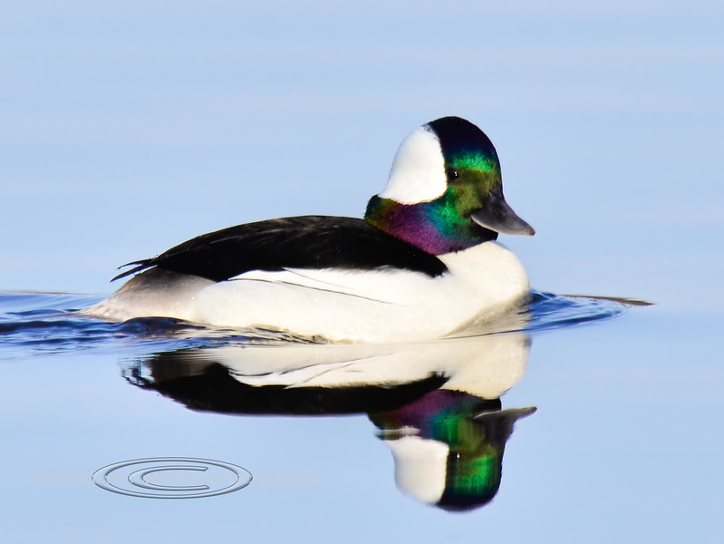 Bufflehead Duck 2013.5.8#149. A handsome drake during a rest and refueling stop on it's spring migration. Spenard Crossing, Anchorage  Alaska.