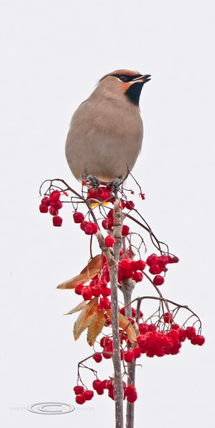 Waxwing, Bohemian 2012.11.9#042. On Mountain Ash. Highgate Circle, Anchorage Alaska.