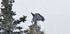 Eagle, Bald 2011.5.2#035. Finishing a freshly captured Snowshoe Hare. Denali Park Alaska.