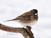 Dark-eyed Junco(oregon race?). Alaska.  #327.617.
