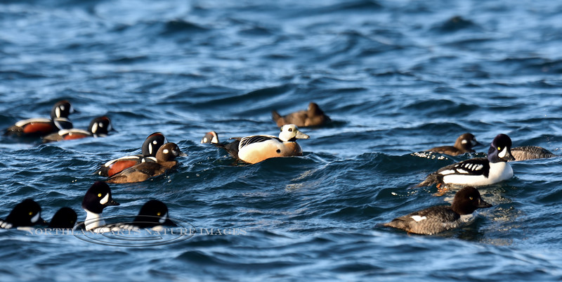 Eider, Steller's 2015.3.9#796. With Harlequins & Goldeneyes. Resurrection Bay, Seward Alaska.