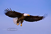 Eagle, Bald 2009.3.7#176. Our National bird. Homer Alaska.