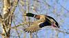 Mallard Duck 2008.3.25#037. Spenard Crossing, Anchorage Alaska.