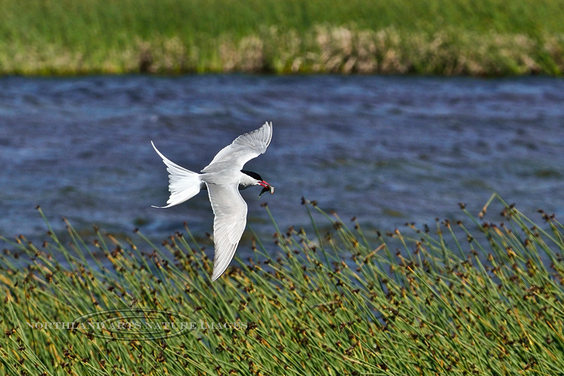Tern, Arctic 2014.6.17#117. With a freshly caught stickleback. Potter March, Anchorage Alaska.