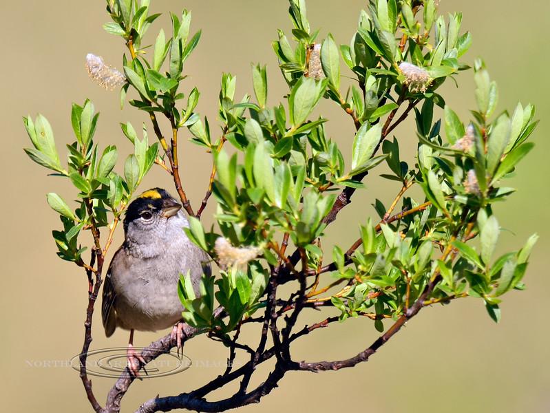 Sparrow, Golden-crowned 2014.6.4#267. Turnagain Pass, Alaska.