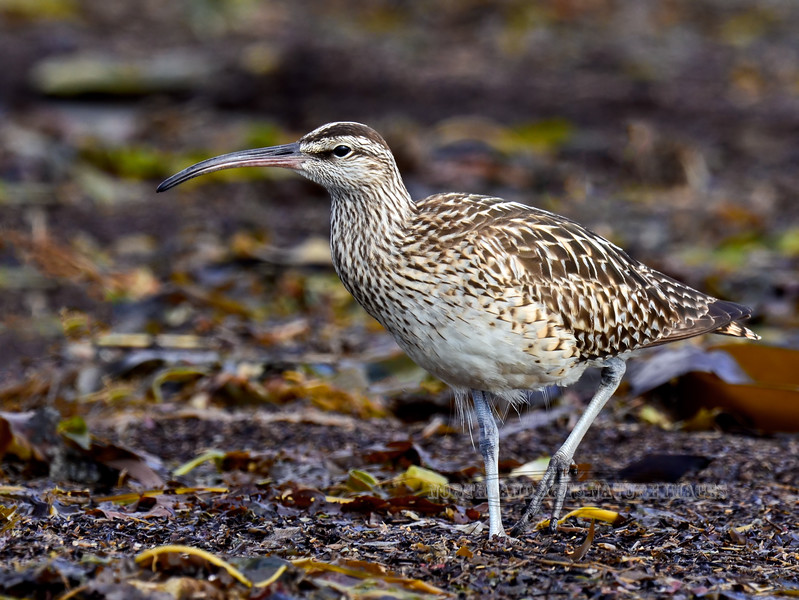 """Curlew, Bristle-thighed 2013.5.23#263. A good image featuring the """"bristles"""" they are named for. Cook Inlet south of Anchor river Alaska."""